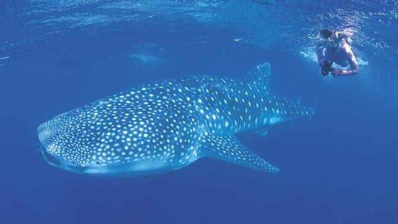 Whale sharks are native to the Ningaloo area more than 1000 kilometres north. Photo: File image